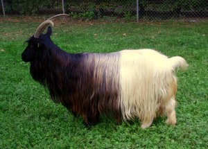 Image of a long-haired goat.
